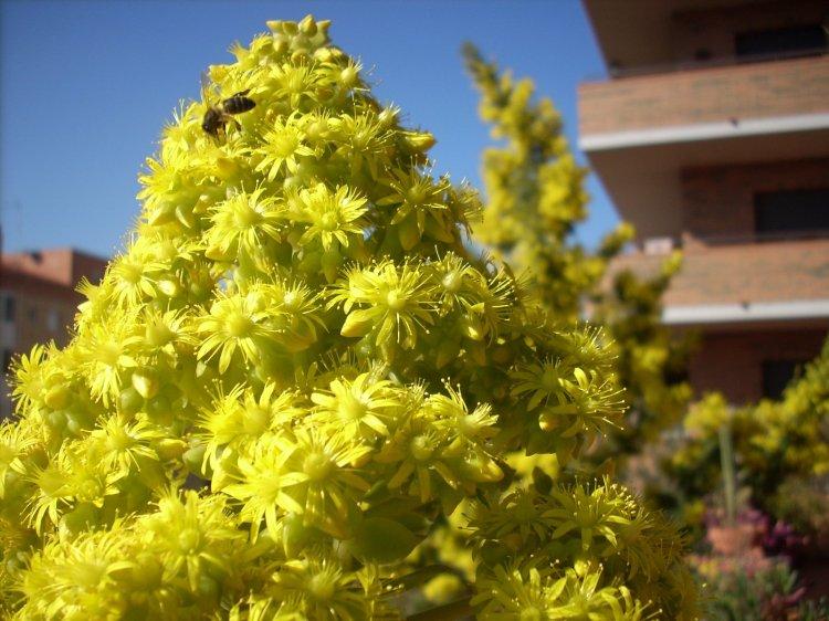 Flor de crasa con su abeja