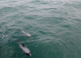 Akaroa. Delfines