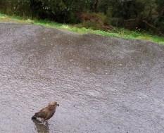 Kea, los simpáticos pajaros de NZ