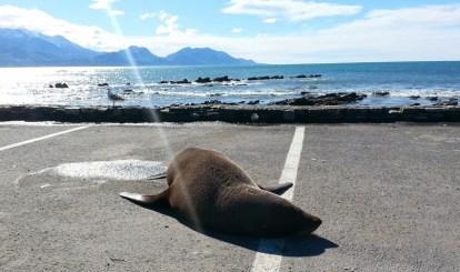 Kaikoura y sus focas