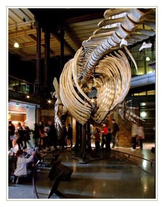 squelette de baleine muséum d'histoire naturelle