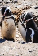 pinguinera-camarones-7163