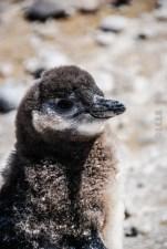 pinguinera-camarones-7177