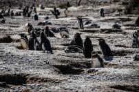 pinguinera-camarones-7230