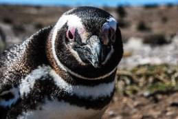 pinguinera-camarones-7260