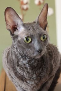 Cornish Rex smartest cat breeds