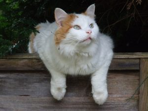 Turkish Van smartest cat breeds