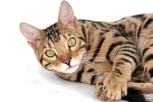 Bengal smartest cat breeds