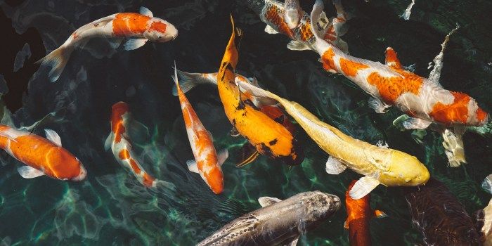 A group of koi fish swimming together.