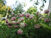 White clover (baltais āboliņš). Latvian veggie patch would usually include flowers and herbs, just for their beauty