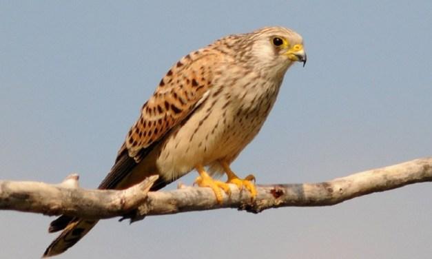 Il falco pigro