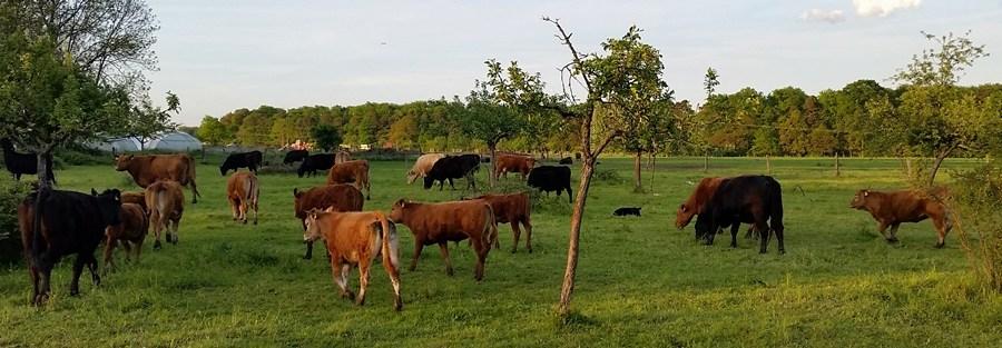Kühe-Fliege