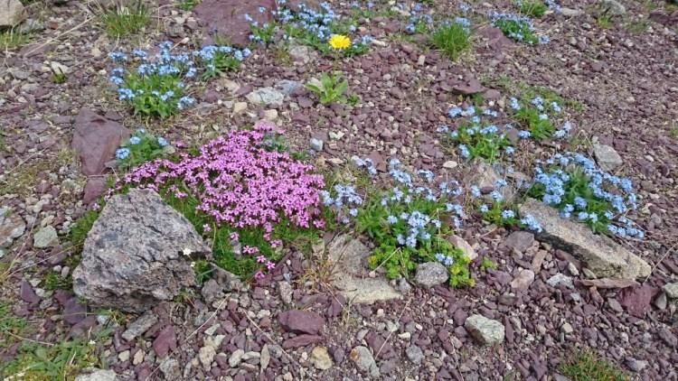 Violette, blaue und gelbe Blumen auf rötlichem Gestein - was für eine Farbpracht auf 2500 m!