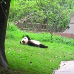 Just a panda enjoying sunbathe