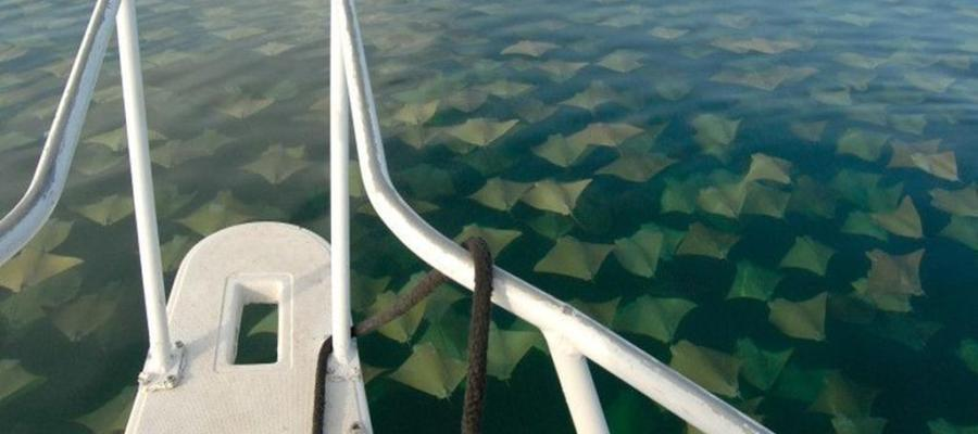 Sea of Sting Rays