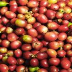 Coffee Beans are not beans