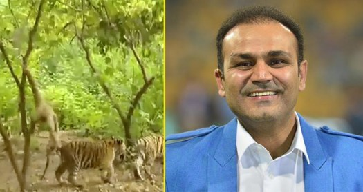 Virendra Shewag Shared A Funny Video Of Monkey Giving Tough Time To Tiger Cubs