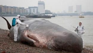 Sculpture grandeur nature incroyablement réaliste d'une baleine échouée