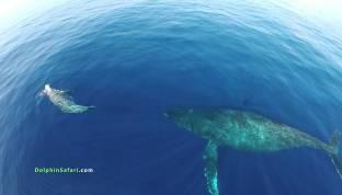 Des drones équipés d'un appareil photo capturent de superbes images de dauphins en fuite et de baleines en migration