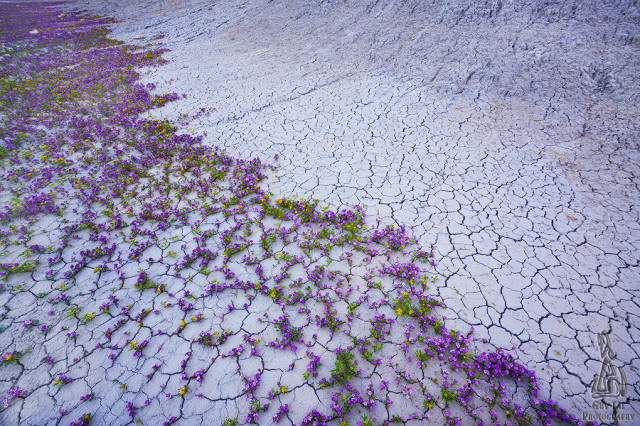 Photos of Rare Wildflower Blooms in the High Deserts of the American West
