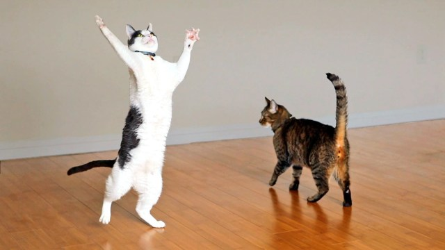 A pair of inquisitive cats become fascinated with the spinning two incredibly excited cats play with a strand of yarn attached to a spinning ceiling fan aloadofball Choice Image