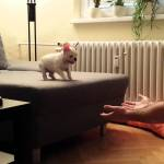 French Bulldog Puppy Fearlessly Jumps Off the Sofa and Into His Human's Arms