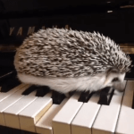 Hedgehog Inadvertently Plays a Respectable Measure of Jazz Just by Walking Across the Piano Keys