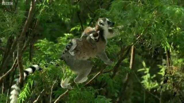 8269dcf90c3 Ring-Tailed Lemurs Skillfully Scale Cliffs With Their Babies on Their Backs  While Searching for
