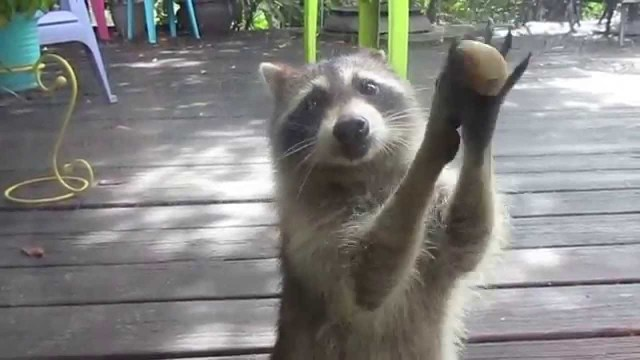 Raccoon Cleverly Knocks On A Glass Door With Rock Between Her Paws When Cat Food Bowl