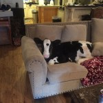 Adorable Cow Who Thinks He Is a Dog Enjoys Relaxing on the Couch and Getting His Chin Scratched