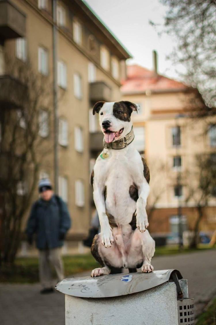Este pit bull fazendo movimentos de parkour irá te deixar pasmo!