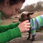 A Baby Goat Wearing a Striped Shirt Climbs Her Very First Rock on the Day She Is Born