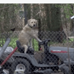 Serious Tornado Newscast Interrupted by the Sight of a Dog Sitting Upright on a Lawn Mower