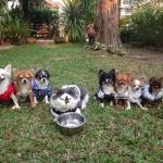An Adorable Pack of Seven Chihuahuas Whose Alpha Dog is a Confidently Caring Costumed Cat