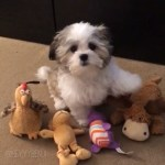 A Tiny Little Puppy Repeatedly Chooses His Best Friend Except When There's Pizza Around