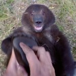 A Little Orphaned Grizzly Bear Cub Likes to Have Her Feet Tickled by the Man Who Rescued Her