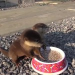 A Pair of Teeny Tiny Rescued Baby Otters Happily Squeal While Enjoying Their Messy Morning Meal