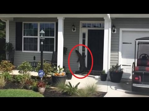 A Well-Mannered Alligator Attempts to Ring the Doorbell of a Suburban South Carolina Home & A Surprisingly Well Mannered Cat Politely Knocks On the Door In ...