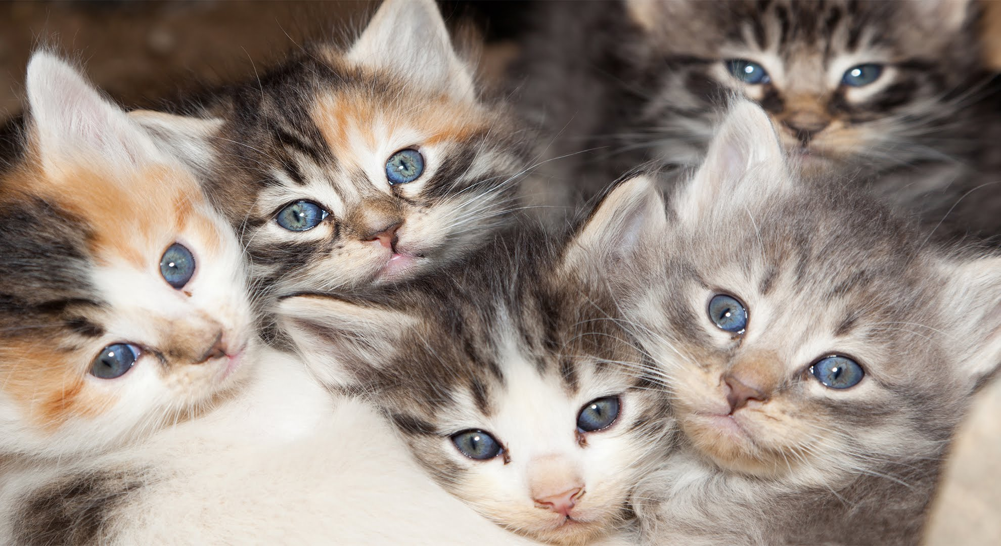 The Physiological Reason Why Calico Cats Are Almost Always