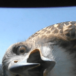 A Curious Hawk Investigates a TV Weather Camera at the Top of a Lincoln, Nebraska Tower