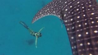 Superbes images GoPro d'un apnéiste professionnel nageant avec des requins-baleines géants doux