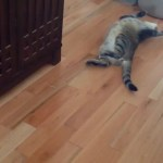 A Chubby Tabby Cat Decides He'd Rather Play Dead Than Chase After a Ping-Pong Ball