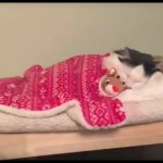A Beautiful Longhaired Cat Goes Nighty Night All by Herself In a Tiny Human-Styled Bed