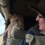 A Curious Wild Cheetah Jumps Into a Vehicle Surprising the Tourist Waiting Inside