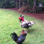 A Concerned Turkey Physically Breaks Up an Impending Fight Between Two Stubborn Roosters