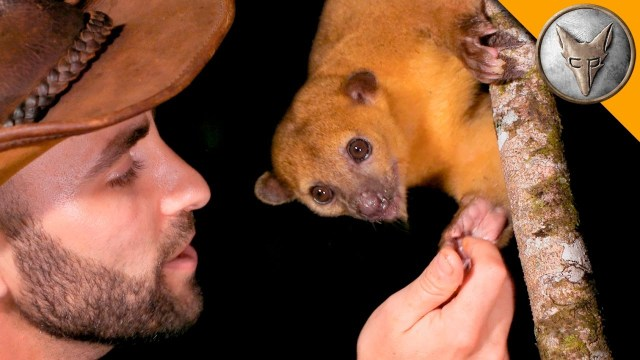 Coyote Peterson Feeds A Bucket Of Fruit To An Upside Down Kinkajou At Night