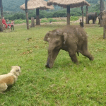 A Slow-Moving Baby Elephant Throws a Tantrum While Trying to Keep Up With a Playful Herding Dog