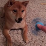 A Perplexed Shiba Inu Dog Repeatedly Vocalizes Objections to Her Human's Fidget Spinner