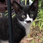 An Adorable Little Tuxedo Kitten With a Well Defined Silhouette of a Crouching Black Cat on His Nose