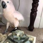 Stubborn Cockatoo Loudly Refuses to Get Into Carrier